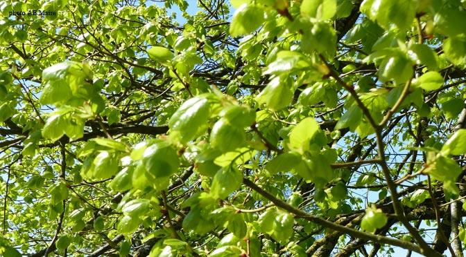 Giono que le vent passe au travers des branchages de l 39 homme ecoute le bois - Arbre fruitier comme bois de chauffage ...